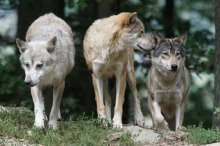 timber-wolves-907680_220_146